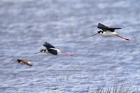 Black-necked Stilt in the company of a Wilson's Phalarope