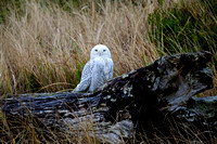 South Jetty - Snowy Owl (large)