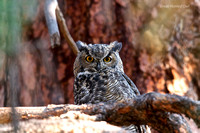 Great Horned Owl Camp Polk Meadow