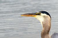 Great Blue Heron swallowing