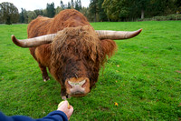scottish long haired cattle