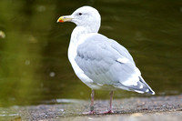 Banded Glaucous-winged Gull