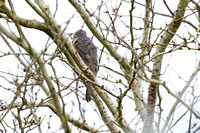 Backyard Accipiter