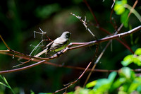 Please Don't Tell me this is a Western Wood-Pewee